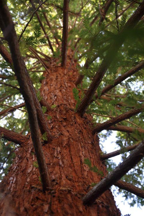 mammoth pine arboretum summer