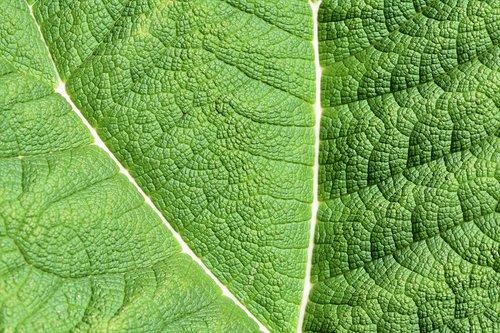 mammoth sheet  leaf  green