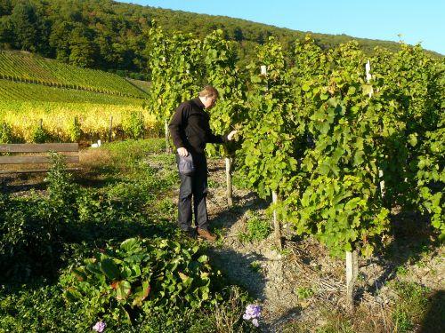 man person vineyard
