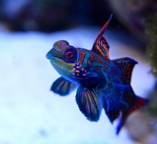 mandarin reef fish