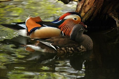 mandarin duck exotic