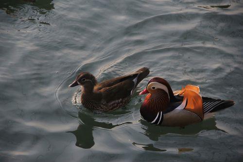 mandarin duck conjugal love pairs