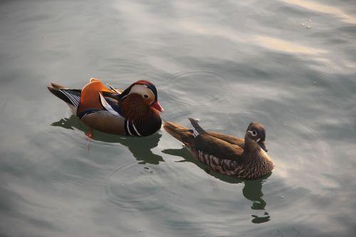 mandarin duck brooks not ducks