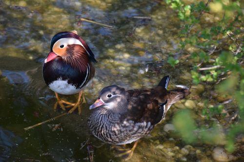 mandarin ducks in pairs colorful