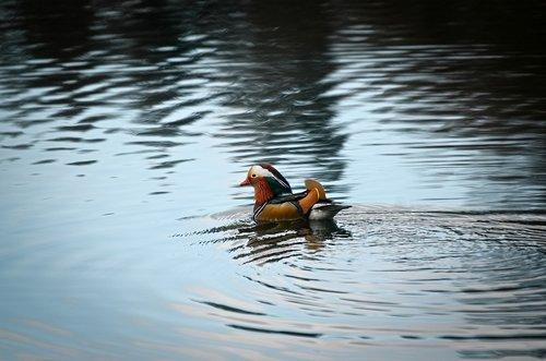 mandarin ducks  duck  drake