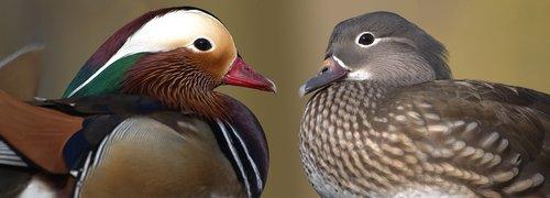 mandarin ducks  ducks  pair