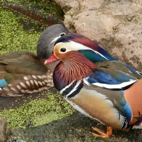 mandarin mandarin an ornamental bird drake