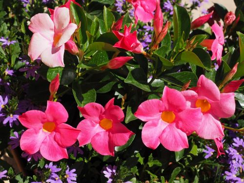 mandevilla bell shaped funnel flower