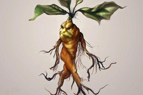 mandrake plant root