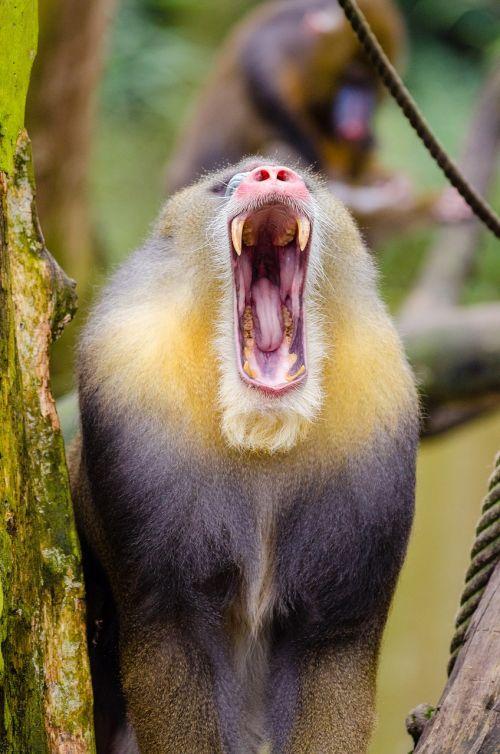 mandrill howling portrait