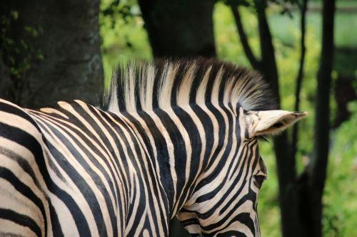 Mane Of Zebra