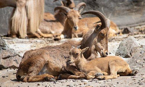 mane springer  aoudad sheep  mammal