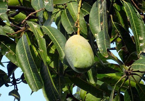 mango fruit mangifera indica