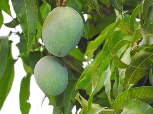 mango mango tree tropical