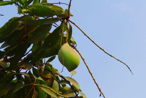 mango totapuri high-yield