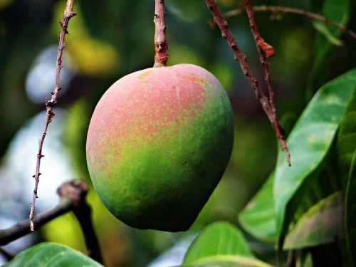 mango mangifera indica about ripe