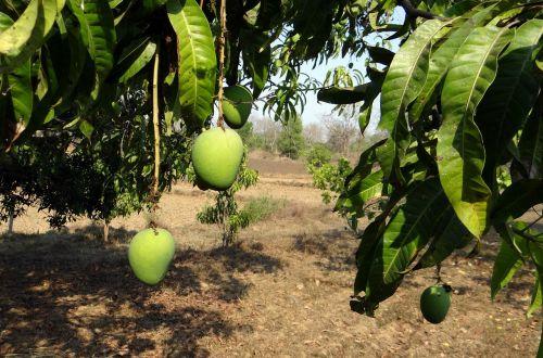 mango tree fruit