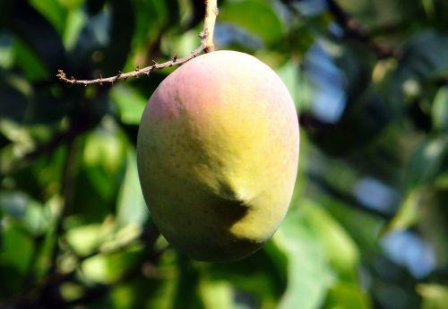 mango mango tree ripe