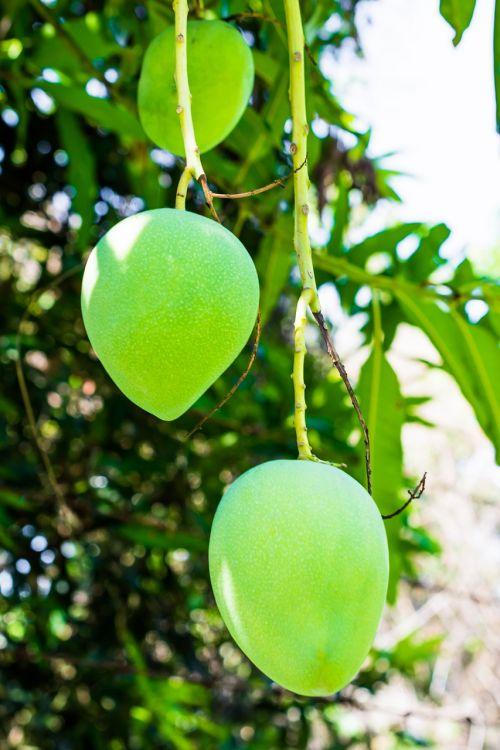mango mango tree fruits