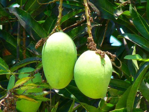 mango green mango fruit