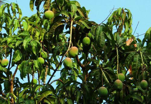 mango tree mango mangifera indica
