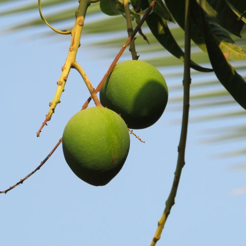 mangos mango tree fruits
