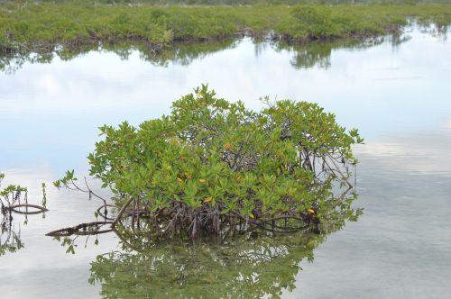 mangrove green water