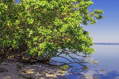 mangrove vegetation beach
