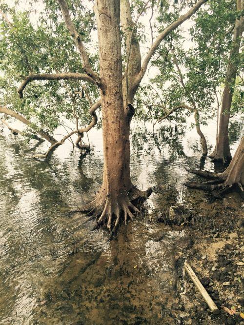 mangrove swamp nature
