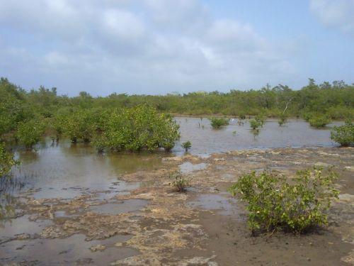 mangrove nature marsh