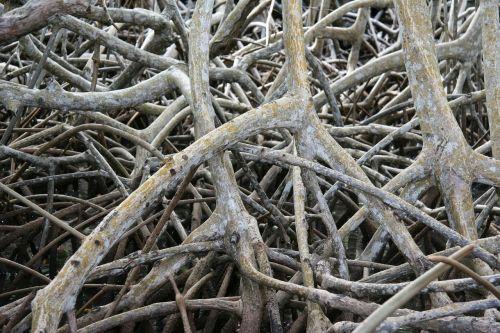 mangrove root martinique