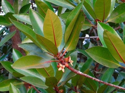 mangrove tall-stilt mangrove rhizophora apiculata
