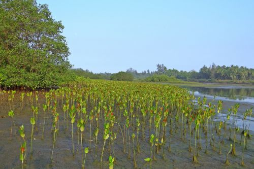 mangrove seedlings plantation