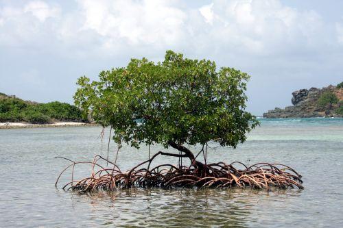 mangrove caribbean tree