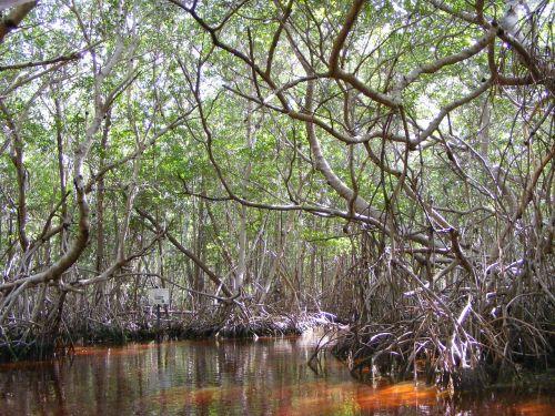 mangrove celestun yucatan mexico