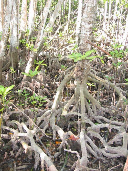 mangrove tree root