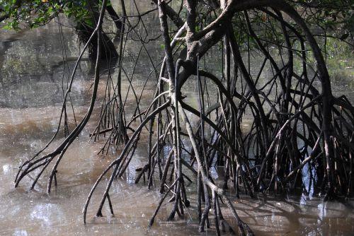 mangrove swamp singapore