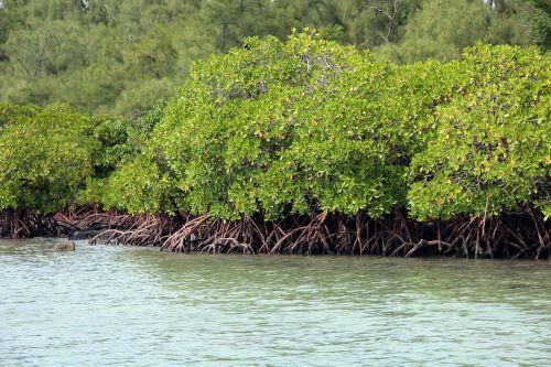 mangrove green tropical