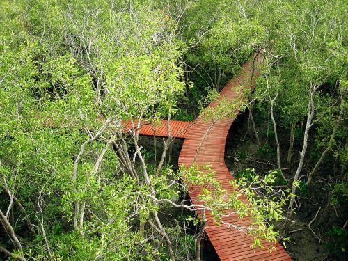 mangrove forest intertidal forest green