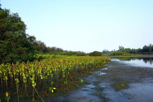 mangrove species seedlings plantation