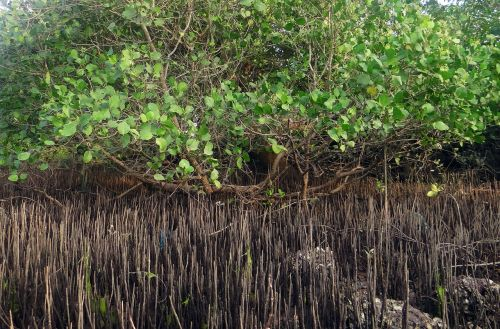 mangrove species breathing roots tidal forest