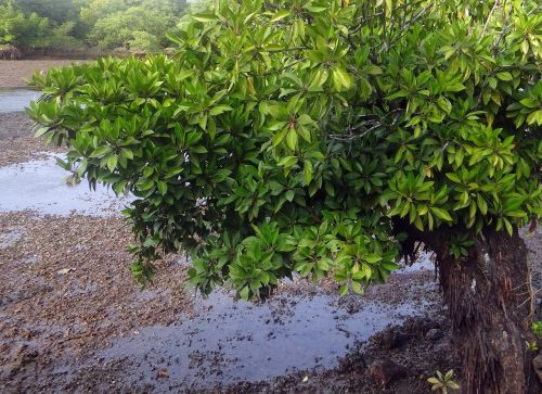 mangrove species aerial roots tidal forest