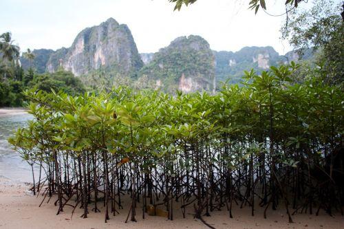 mangroves water trees