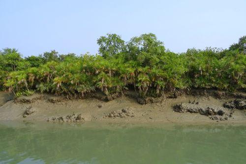 mangroves sundarbans swamp