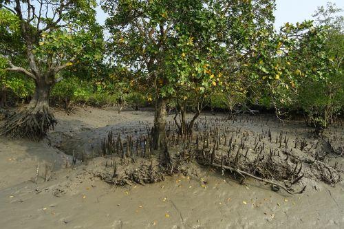 mangroves aerial roots sundarbans