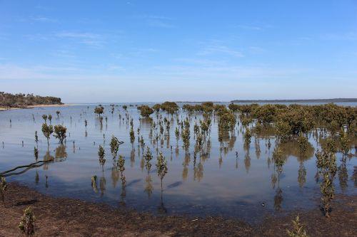 mangroves western port victoria