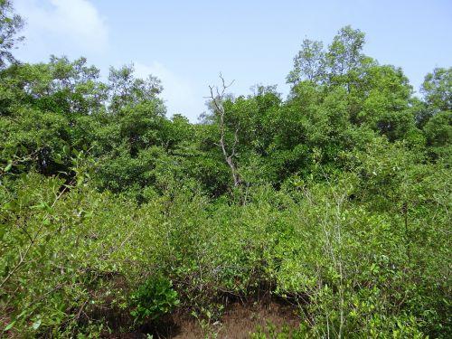 mangroves terekhol river estuary swamp