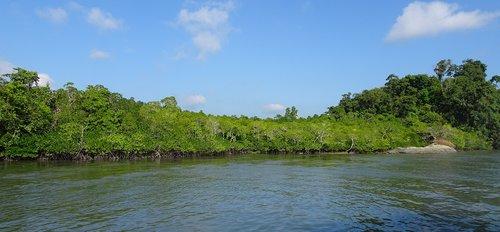mangroves  forest  lush
