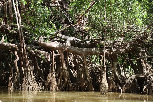 mangroves  river  forest