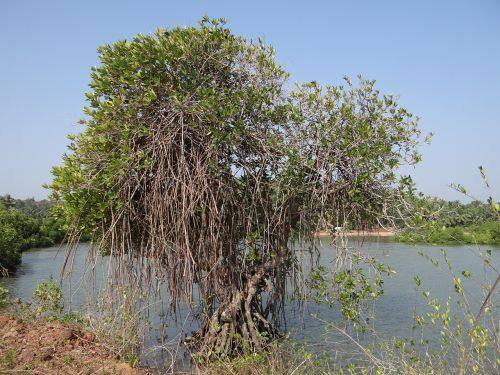 mangroves vegetation estuary